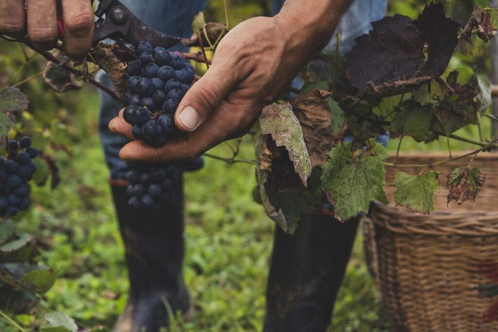 A hand holding ripe grapes in a vineyard