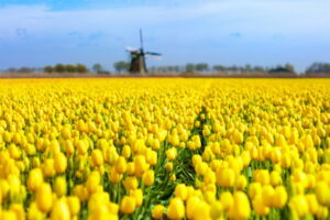 Tulip fields and windmill in Holland, Netherlands. Blooming flower fields with red and yellow tulips in Dutch countryside. Traditional landscape with colorful flowers and windmills.