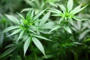 Buy These 2 High-Yield Marijuana Dividend Stocks